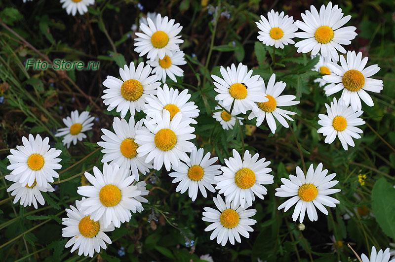 Цветы ромашки - сбор лекарственных растений