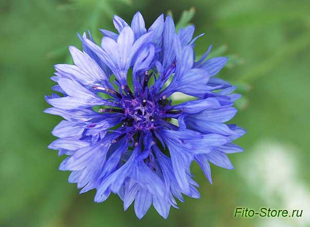 Цветок василька синего