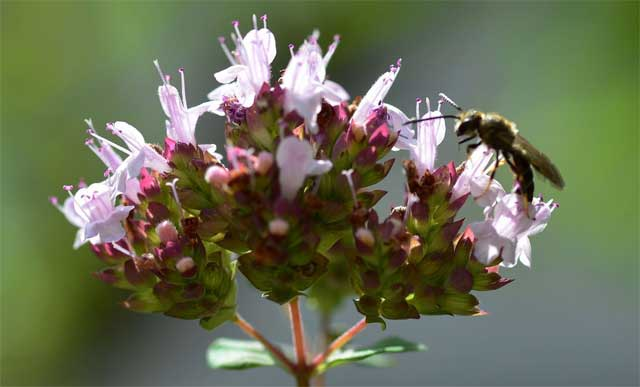 Душица обыкновенная Origanum vulgare