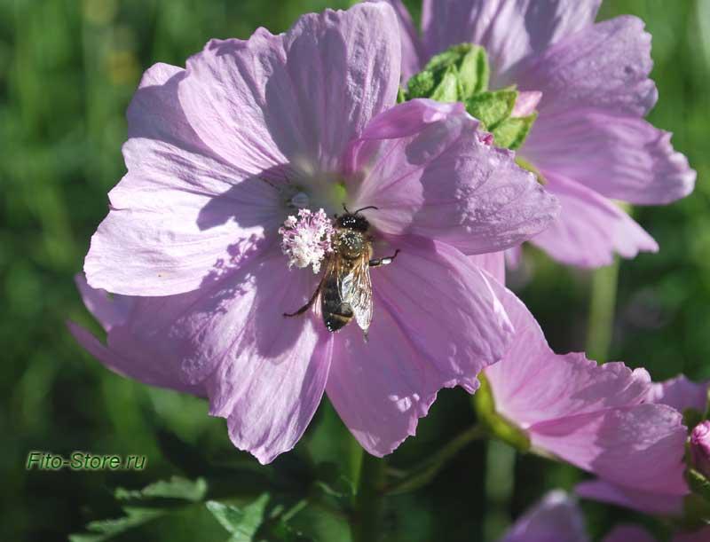 Алтей лекарственный, мальва или просвирник (Altaea officinalis)