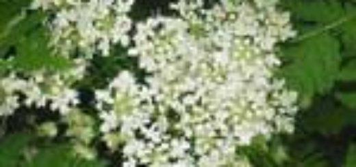 Анис обыкновенный бедренец Anisum vulgare