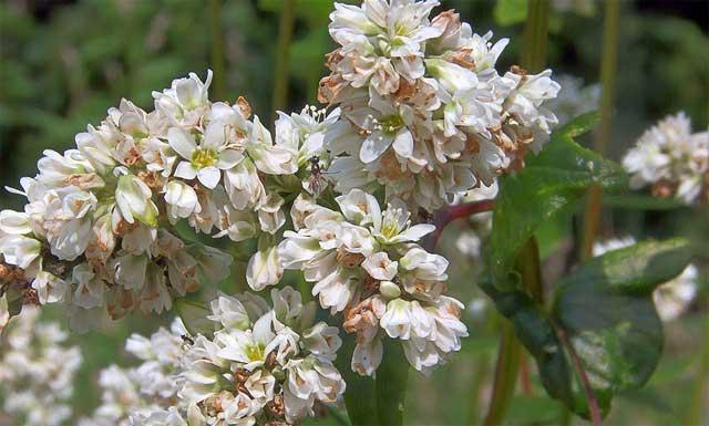 Гречиха посевная Fagopirum sagittatum цветы