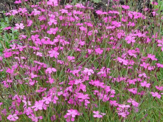 Гвоздика травянка - Общий вид группы цветущих растений