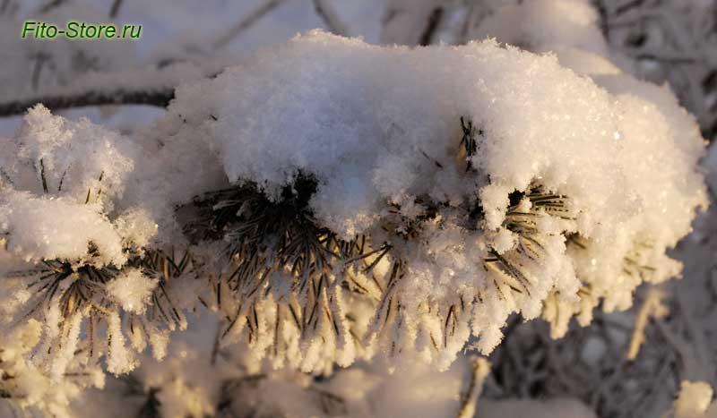 Сосна в зимнем лесу