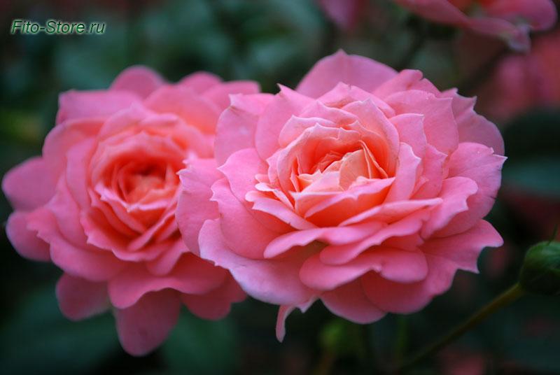 Розы в Летнем саду Петербурга