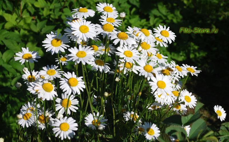 Цветы ромашки как народное обезболивающее средство