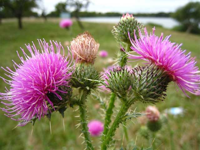 Расторопша или чертополох - цветки и коробочка с семенами