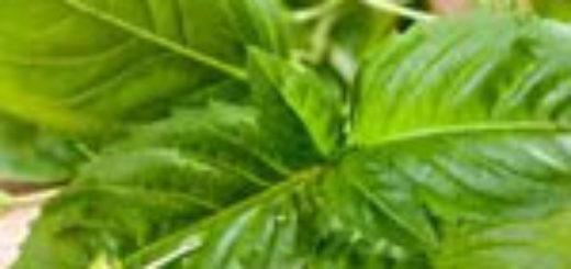 Базилик - свойства противопоказания и рецепты