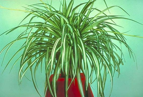 Цветок хлорофитум фото польза
