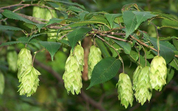 Граб дерево донор
