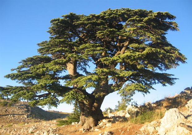 Дерево донор кедр