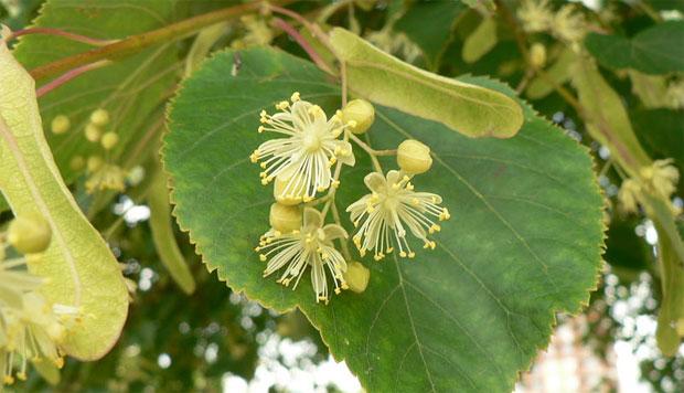 Липа - растение донор