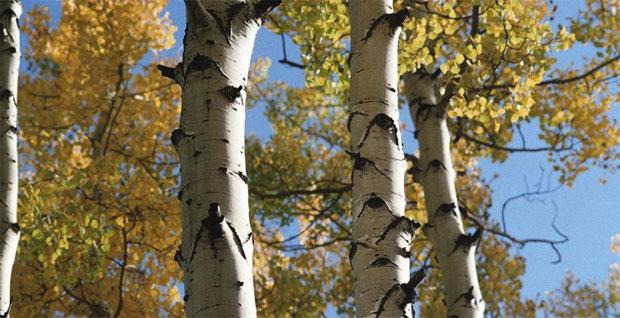 Дерево вампир осина